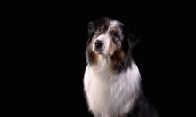 Dog Breed Australian Shepherd In A Photo Studio On A Black Background, Portrait Close-up Artificial Lighting