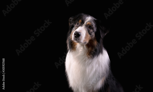 Dog breed Australian shepherd in a photo Studio on a black background, portrait Canvas Print