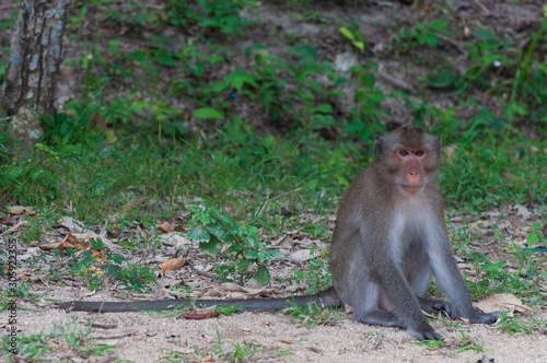 Lonely cute gray Japanese macaque monkey sitting on the ground in a jungle Wallpaper Mural