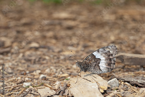 Rock Grayling (Hipparchia alcyone or hermione) is perfectly camouflaged in its surroundings Tablou Canvas