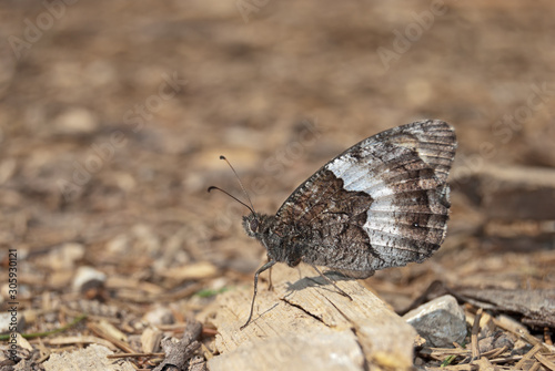 Rock Grayling (Hipparchia alcyone or hermione) is perfectly camouflaged in its surroundings Fototapet