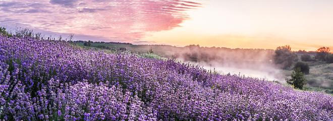 Fototapeta Lawenda Colorful flowering lavandula or lavender field in the dawn light.