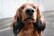 red long haired dachshund dog portrait outdoors