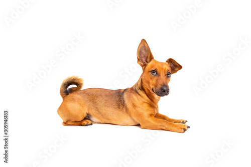 Small brown dog sitting on the floor isolated on white background Fototapete