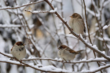 Three Sparrows Sitting On Snowy Tree Branches. Birds In Winter.