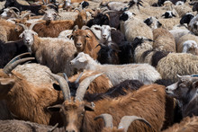 Close Up On Flock Of Goats