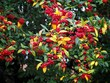 canvas print picture Cotoneaster