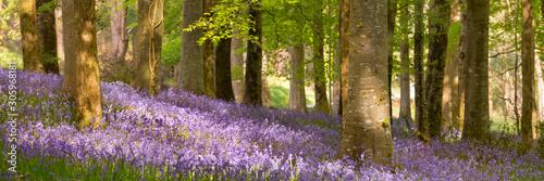 Fotomural Blooming bluebells in Northern Ireland