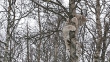 Lynx Animal In Tree Close View Of Paws And Head Search For Food