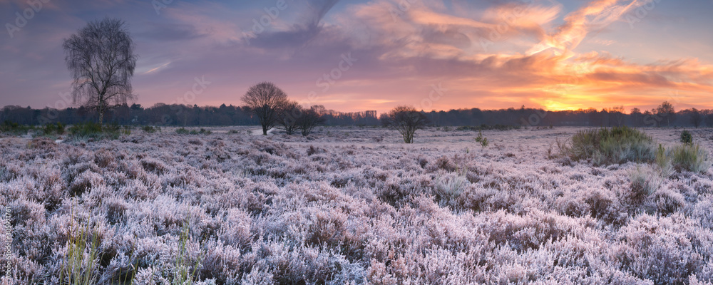 Fototapeta Frosted heather at sunrise in winter in The Netherlands