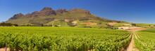 Vineyards Near Stellenbosch In South Africa