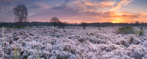 Frosted heather at sunrise in winter in The Netherlands - 305971761