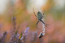 Argiope Spider With Prey On The Web