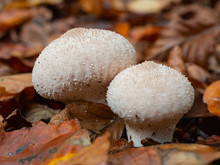 Close-up Of  Puffball In Autumn Leaves