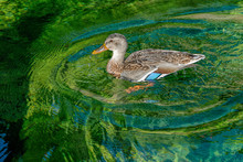 Curious Female Mallard Duck Ba...