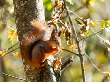 Wild Red Squirrel Sitting On T...