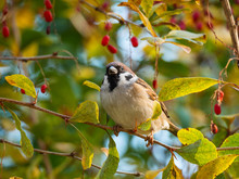 Close-up Of Sparrow On The Twig