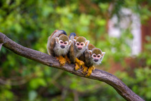 Three Common Squirrel Monkeys ...