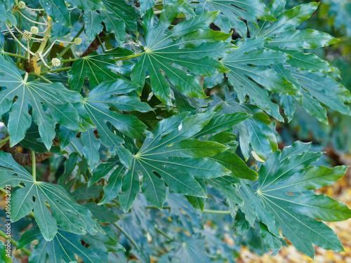 Fatsia japonica | Japanese aralia or glossy-leaf paper plant Fototapet