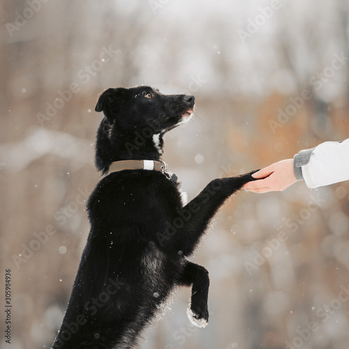 Fotomural black mixed breed dog gives paw outdoors in winter