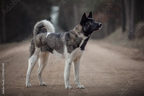 Photo portrait of young american akita dog standing on the road in daytime in autumn