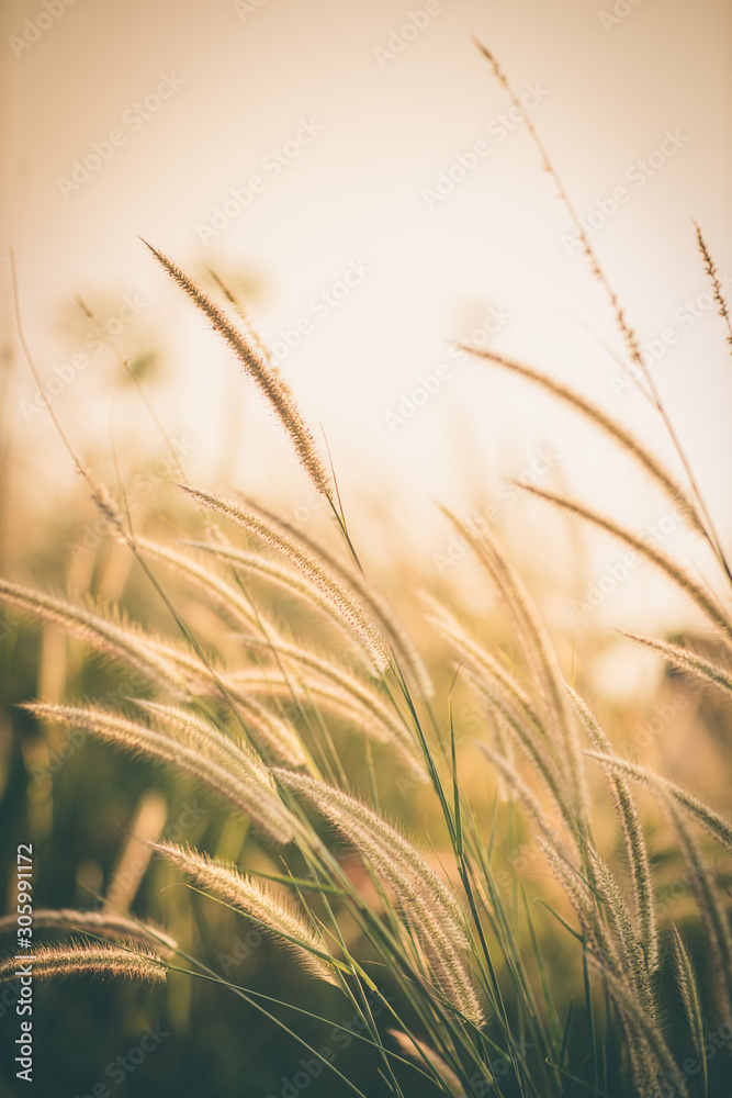 Fototapeta Wonderful landscape from the feather grass field in the evening sunset silhouette. serene feeling concept. countryside scenery atmosphere. image for background, wallpaper and copy space.