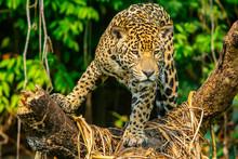 Jaguar Hunting