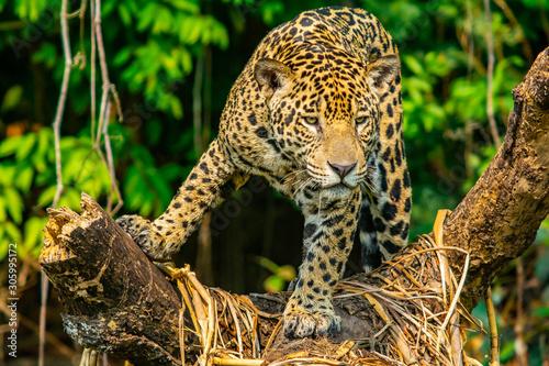jaguar hunting Wallpaper Mural