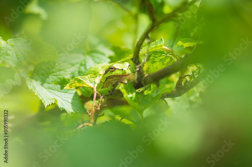 Photo Closeup of a small European tree frog Hyla arborea or Rana arborea heating up in the sun