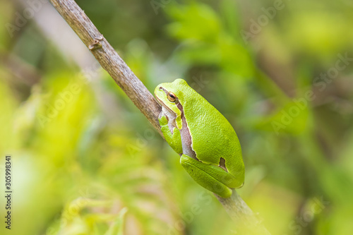 Photo Closeup of a small European tree frog (Hyla arborea or Rana arborea) heating up in the sun