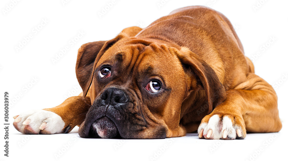 Fototapeta sad dog lies and looks up on isolated on a white background