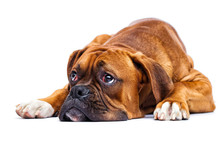 Sad Dog Lies And Looks Up On Isolated On A White Background, Breed German Boxer