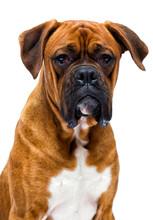 Boxer Dog Looks Up Isolated On...