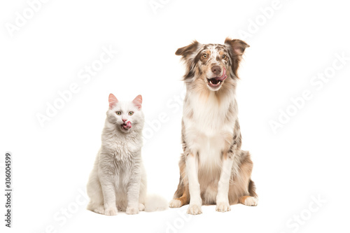 Fotomural Australian shepherd dog and white longhaired cat looking at the camera licking t