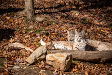 An Special Bond Between A Lynx...
