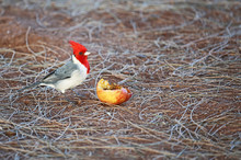 Red Crested Cardinal And Apple...