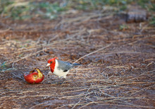 Red Crested Cardinal, Hawaii