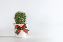 Green Cactus In A White Pot With A Bow, Gift And Surprise Concept,