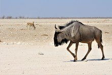Close Black Wildebeest In Etosha Nationalpark, Namibia, Africa