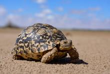 Leopard Tortoise In A Desert W...