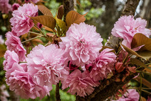 Japanese Cherry Blossums In Fu...