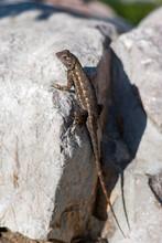Adult Great Basin Fence Lizard On Rock