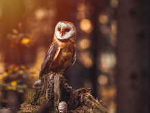 Barn Owl (Tyto Alba) Sitting O...