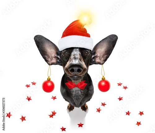 Poster Crazy dog christmas santa claus dog and xmas balls or baubles hanging from ears