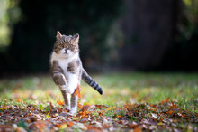 Tabby White British Shorthair Cat Running Towards Camera On Grass With Autumn Leaves Looking Outdoors In Nature