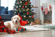 Cute funny dog with gift in room decorated for Christmas