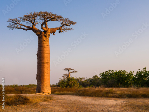 African landscape with majestic baobab tree, Morondava, Madagascar Wallpaper Mural