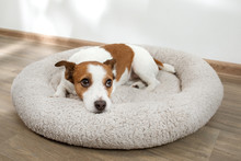 Dog In A Pet Bed. Jack Russell Terrier At Home On A Soft Mattress
