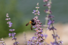 Bumble Bee On A Purple Flower
