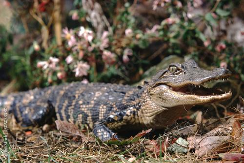 American Alligator (Alligator Mississippiensis) Baby Gator Canvas Print